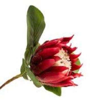 Picture of 68cm red protea